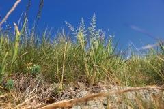 Koeleria glauca, Foto: Thomas Engst