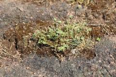Scleranthus perennis, Foto: Thomas Engst