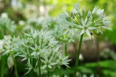 Allium-ursinum-BULAUMichael-Langes-Holz-Freckleben-09.05.2019-4cx