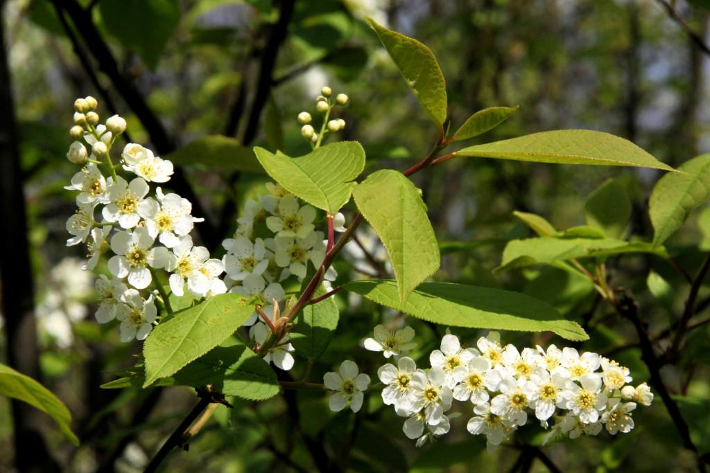 Prunus-padus-Gewöhnliche-Traubenkirsche-04-14-3-27-Uta-Anhalt-SGH-x