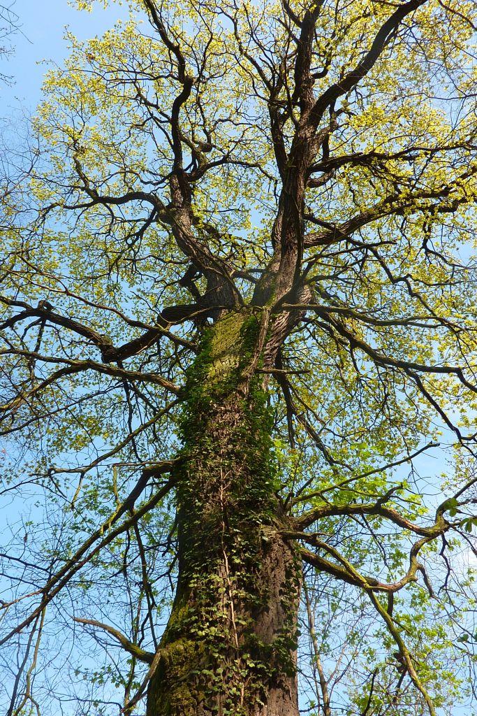 Quercus-robur-Peißnitz-4.10-P1010251-Katrin-Schneiderpx
