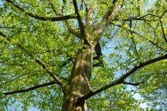 Carpinus-betulus-4.10-P1010258x