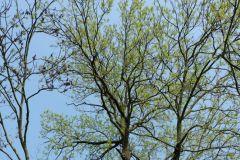 Fraxinus-excelsior-Baum-mit-Austrieb-Mößlitz-Katrin-Schneider-2017-DSCF7968px