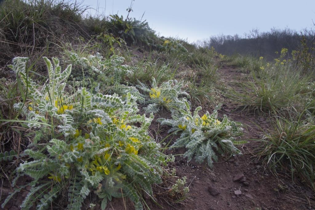 Astragalus-exscapus_HENSEL_Gunnar_Koennern_Georgsburg_12.04.2014_2-x