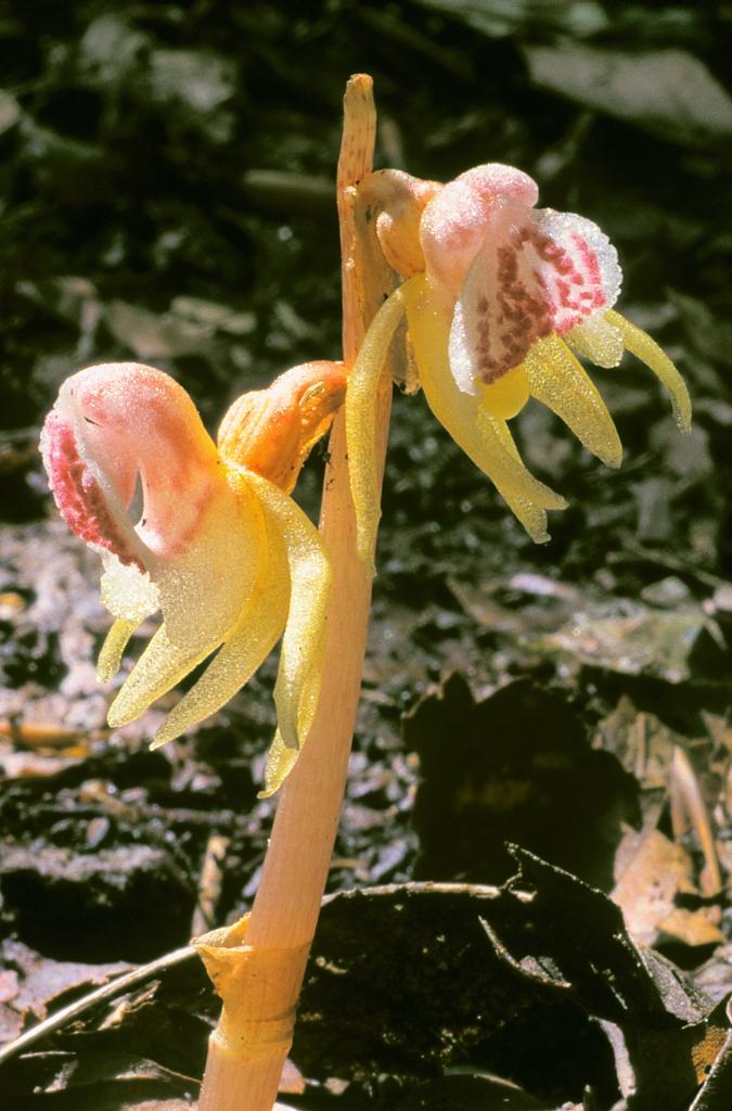 Epipogium-aphyllum-KORSCHEFSKY-ANDREAS-Forst-Ilsenburg-16082002-x