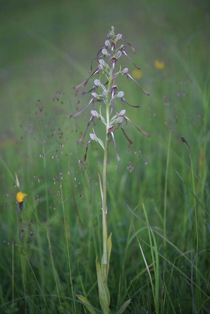 Platanthera-bifolia_WESTERMANN_Annette_Forst_Bibra_19052014-x