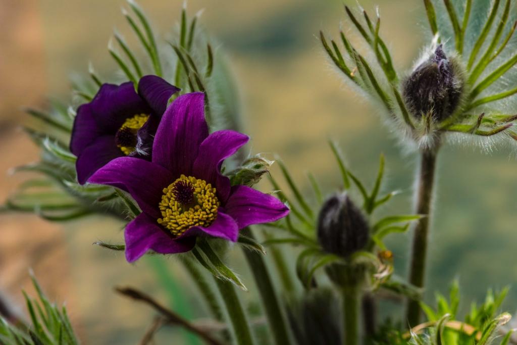 Pulsatilla vulgaris, Kelbra. Foto: Thomas Engst