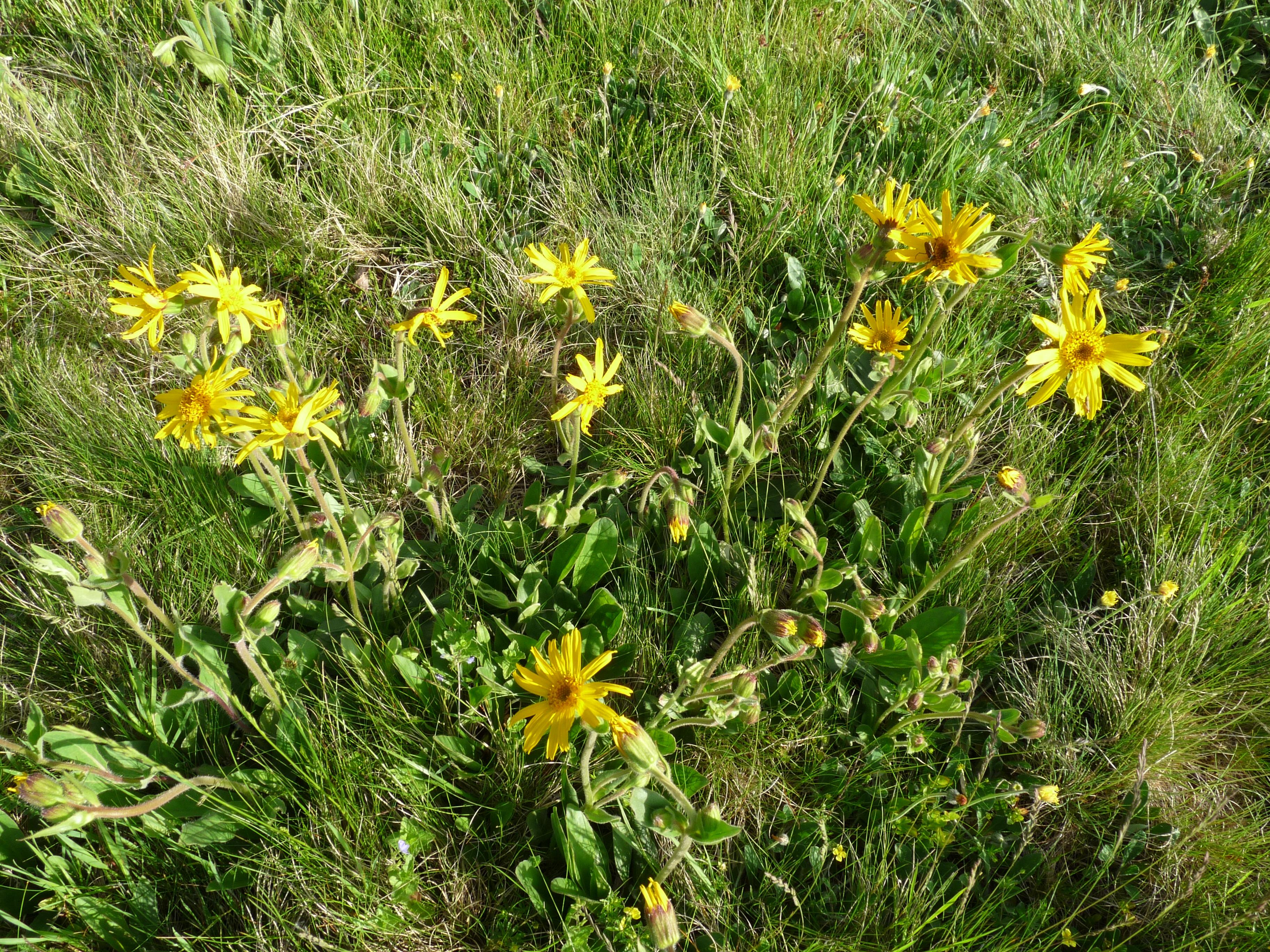 Arnica-montana-Allerbachwiesen-Trautenstein-04.06.17-Tim-Meier-3
