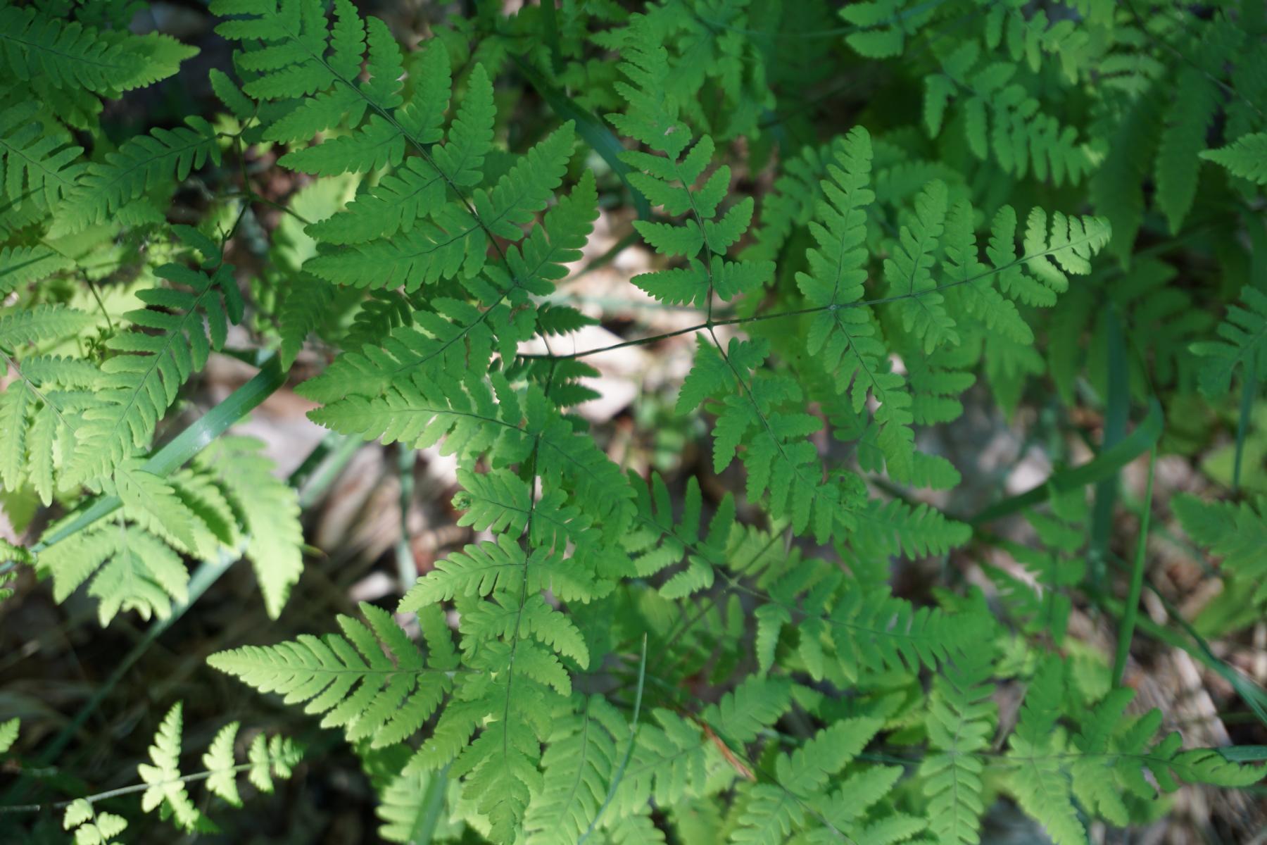 8_Gymnocarpium dryopteris_Wald_südöstlich_Gorrenberg_Vereinsexkursion_27.05.2017