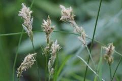 16_Carex pseudobrizoides_Waldweg_südöstlich_Gorrenberg_Vereinsexkursion_27.05.2017