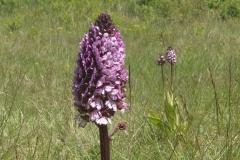 Purpur-Knabenkraut, Orchis purpurea, Foto: Thomas Engst
