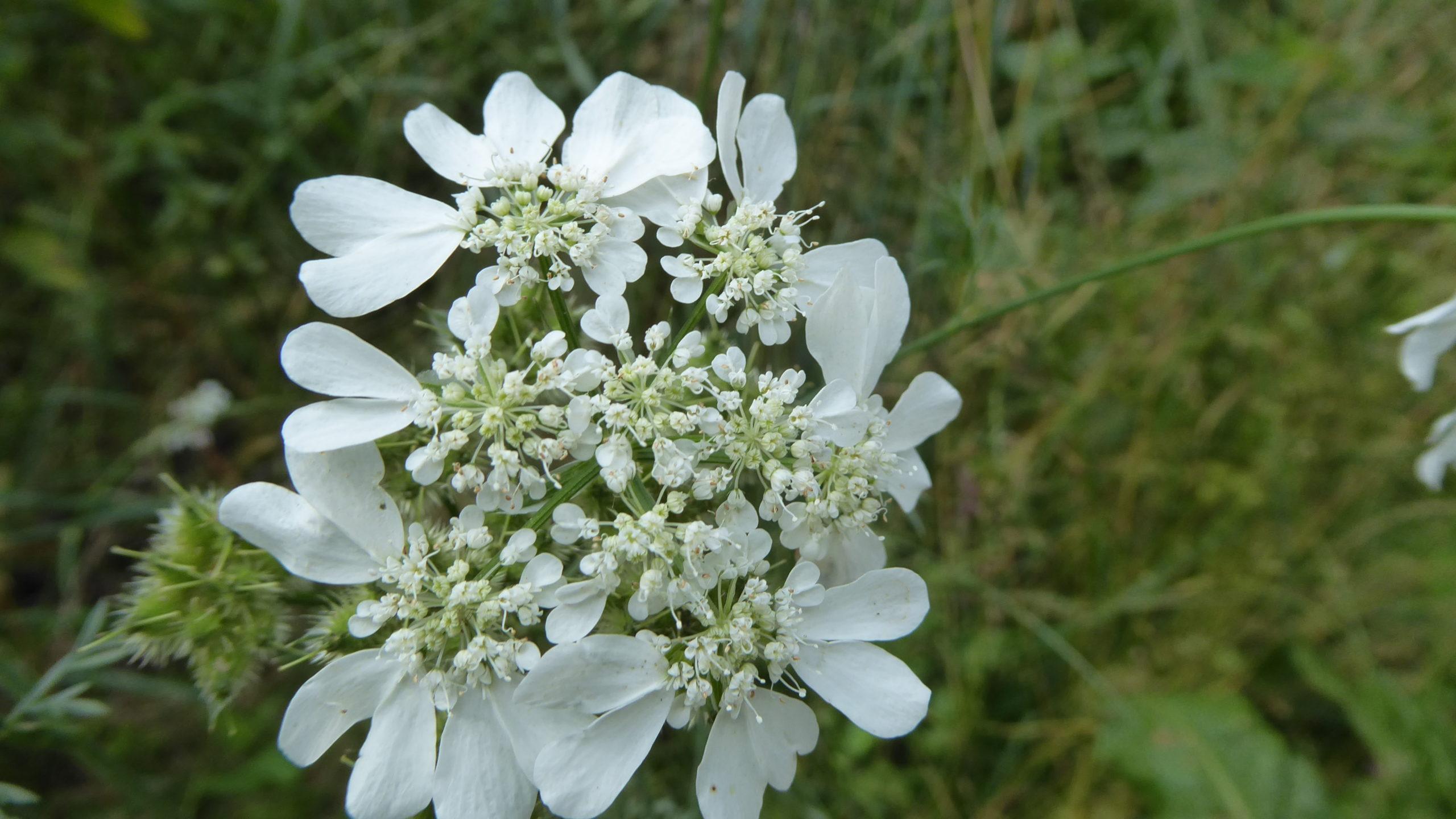 Orlaya-grandiflora-Exkursion-Tiergarten-2020-Guido-Warthemann-P1020739-scaled