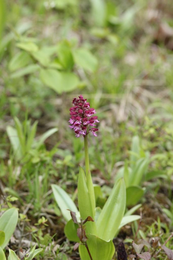 Orchis-purpurea-x-militaris_ToteTaeler_20170506-2-Thomas-Engst-x