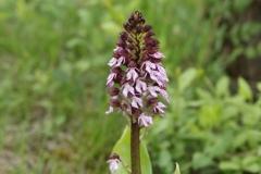 Orchis-purpurea_Thomas Engst