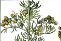 Johann Georg Sturm: Artemisia maritima, Quelle: commons.wikimedia.org