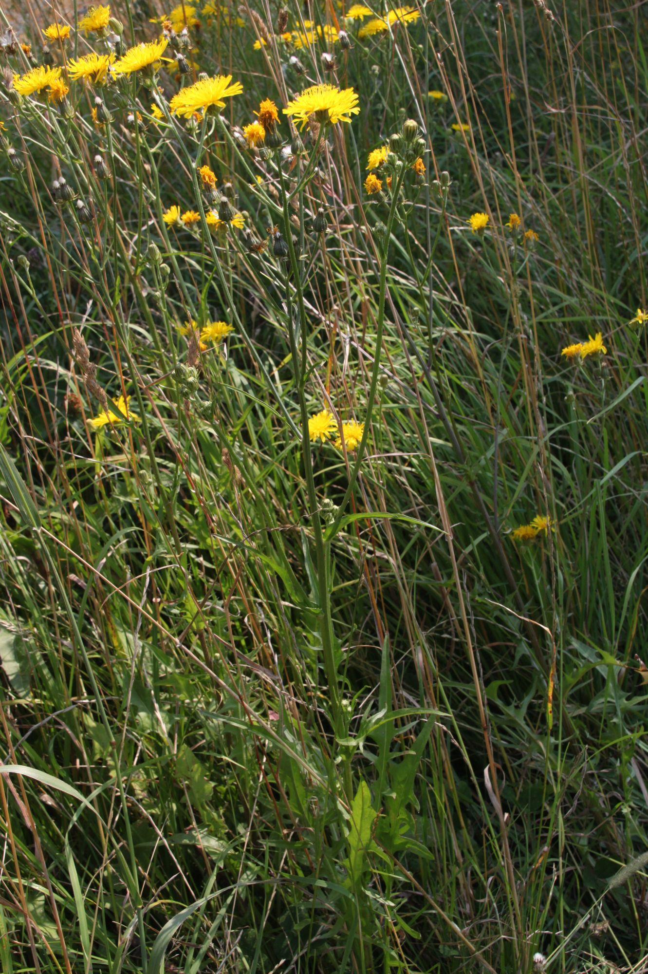 Crepis-biennis-Wiesen-Pippau-07-12-5-16-Uta-Anhalt-SGH-x