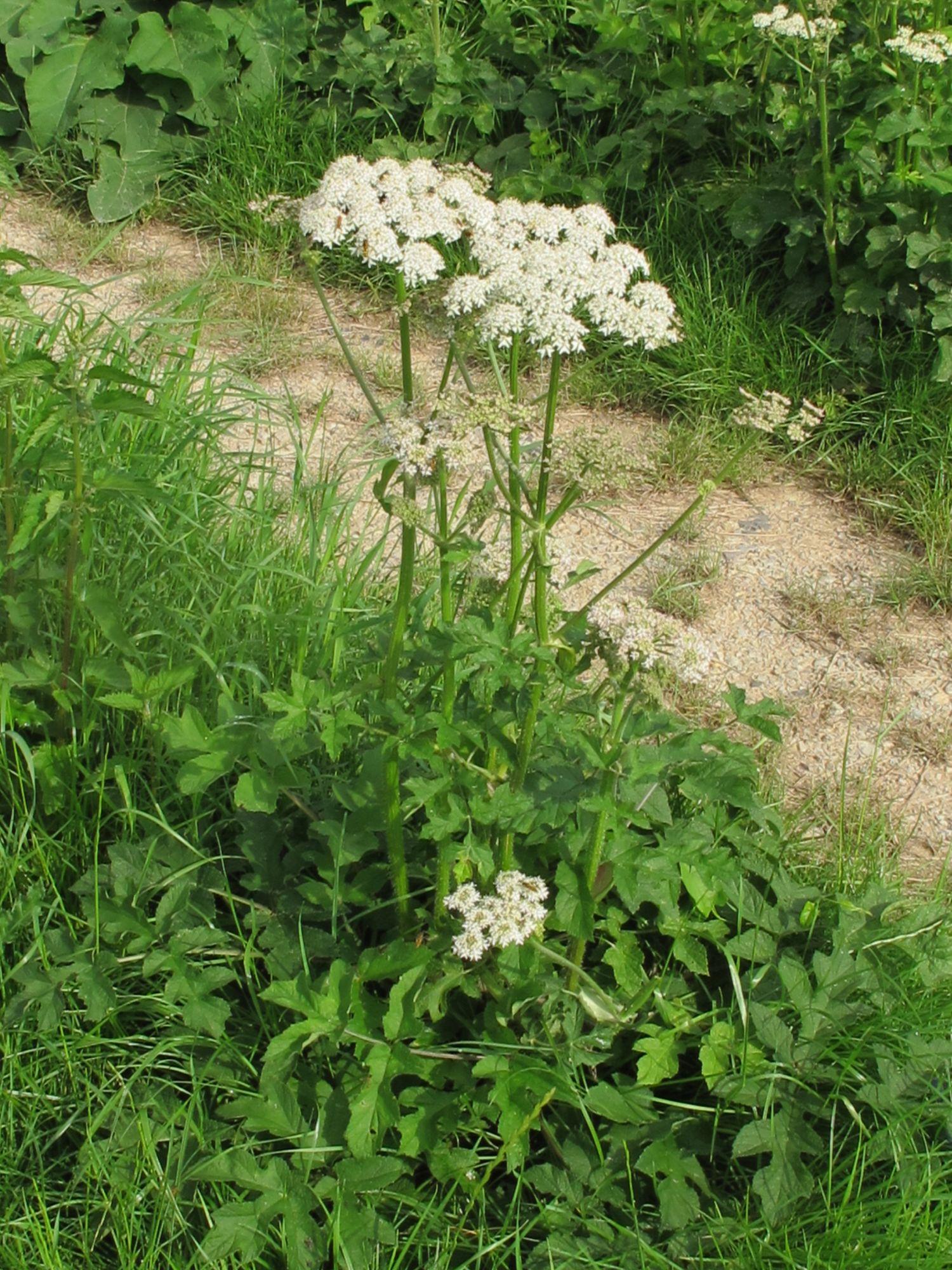 Heracleum-sphondylium-Spülfeld-Süßer-See-Katrin-Schneider-11.7.2012-IMG_3581-x