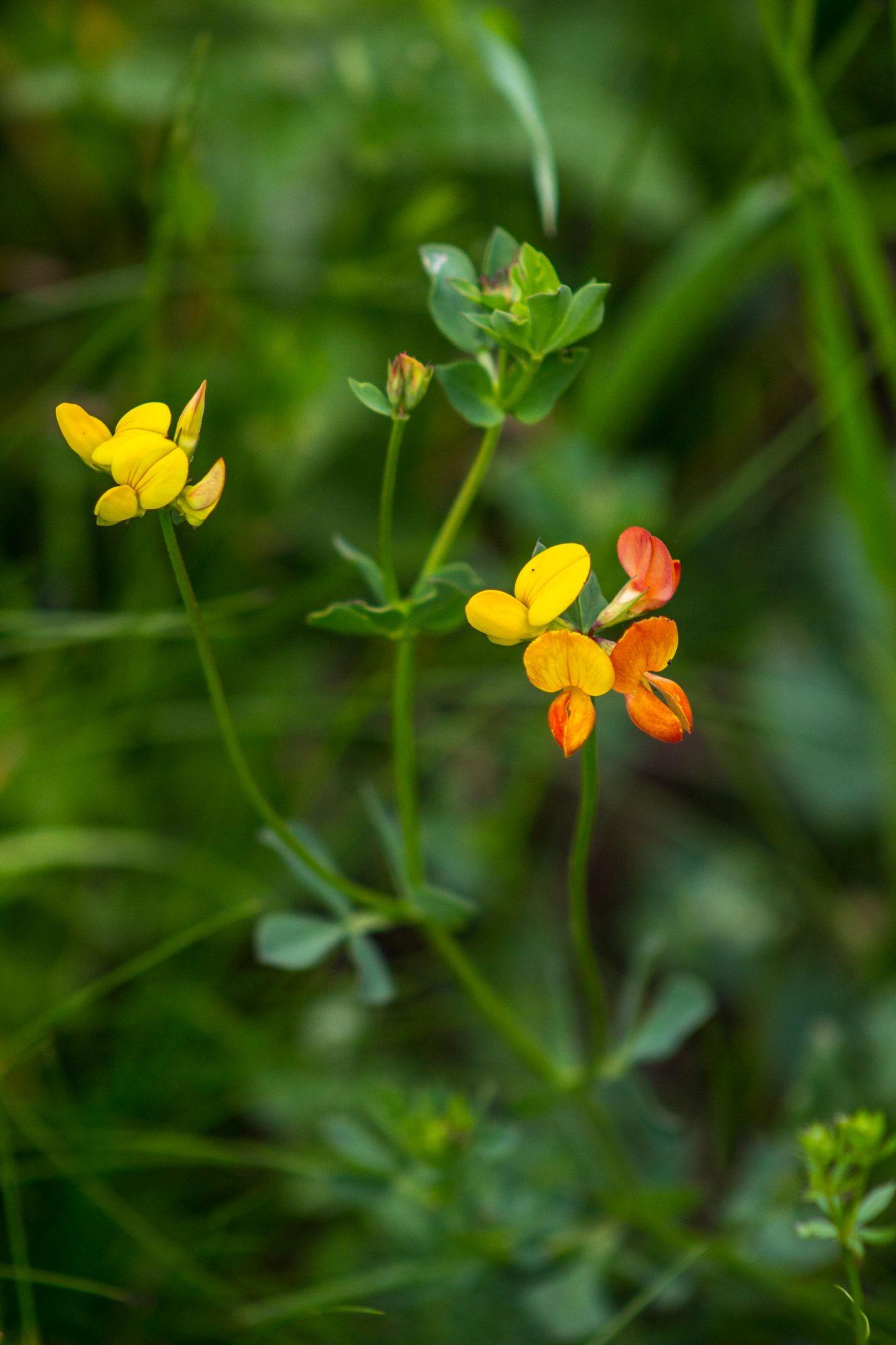 Lotus-corniculatus_ENGST_Thomas_NSG-Poehlsfeld_24.4.2014-x
