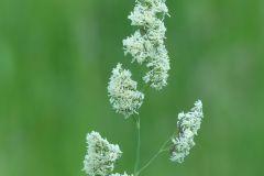 Dactylis-glomerata-OHLHOFF-11.06.16-Halberstadt-x