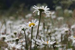 Leucanthemum-vulgare_WESTERMANN_Annette_Neudorf_27052007-x
