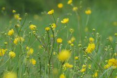 Ranunculus-acris-Arland-Kommraus-Jessica-Frischwiese-Balgstädt-15.05.2010-x
