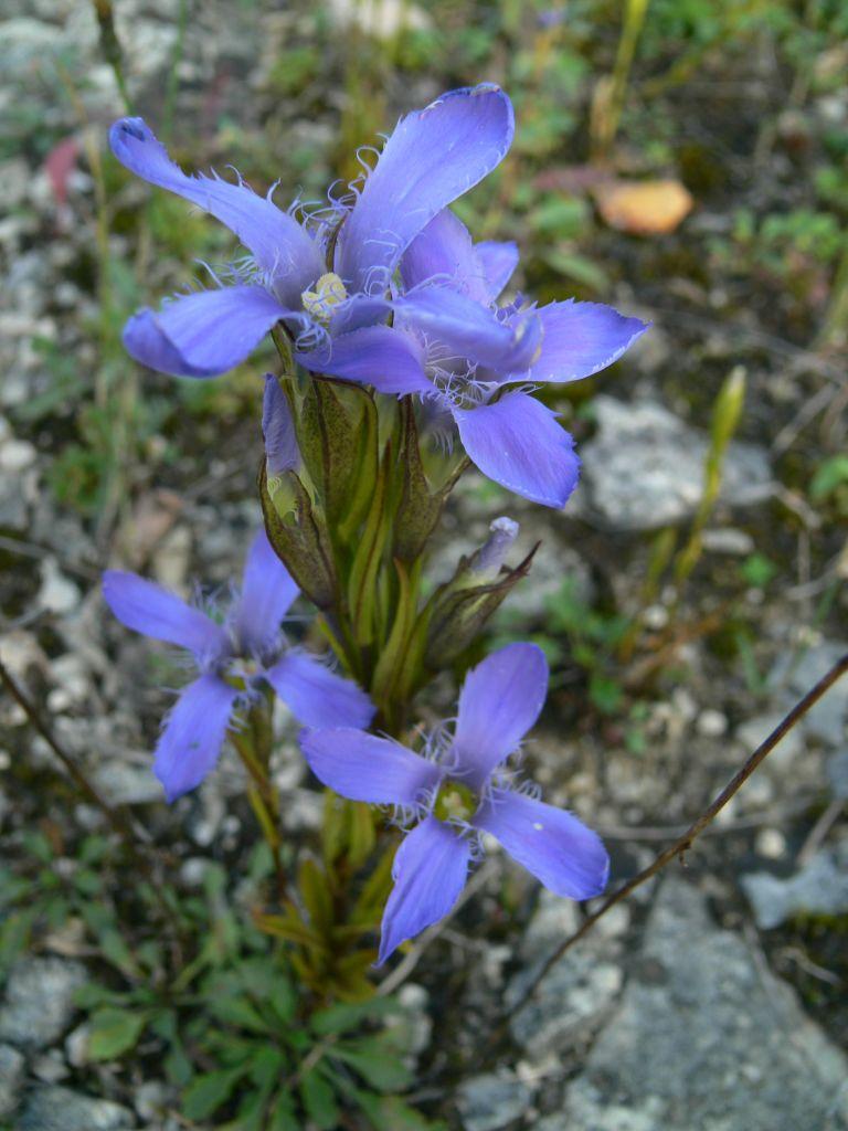 Gentianopsis-ciliata-OHLHOFF-11.09.08-Huy-Neinstedt-x