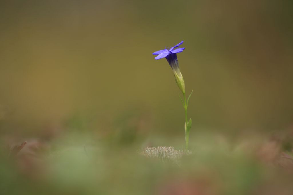 Gentianopsis-ciliata_WESTERMANN_Annette_Hornberg_Elbingerode_23092012-x