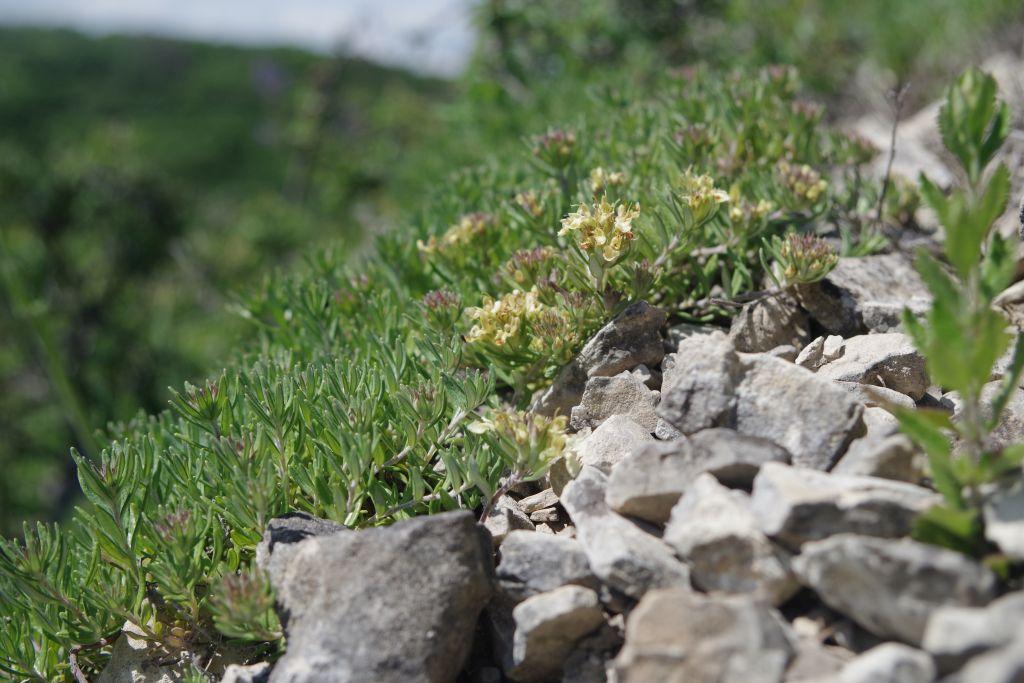 Teucrium-montanum-BULAUMichael-Borntal-30.05.2019-4-x