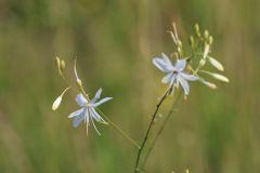Anthericum-ramosum2-OHLHOFF-24.07.16-Huy-x