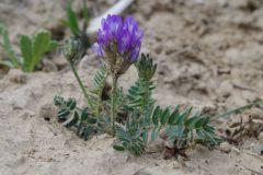 Astragalus-danicus-BULAUMichael-Gipshütte-Drohndorf-09.05.2019-2-x