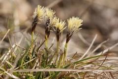 Carex-humilis_ELIAS_Daniel_Nelbener-Grund_22.03.2009cx