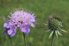 Scabiosa-columbaria-EckWill-2014-08-09-373-2-cx