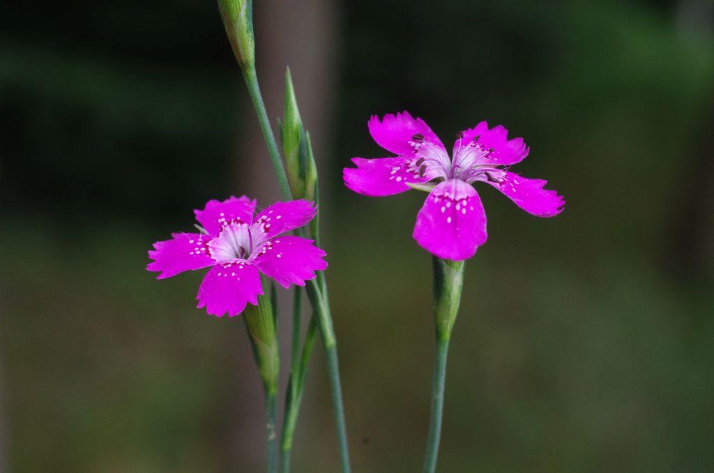 Dianthus-deltoides-EckhWill-2014-06-10-119-x