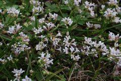 Asperula-cynanchica-EckWill-2014-08-05-290-x