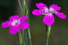 Dianthus-deltoides-EckhWill-2014-06-10-119-x