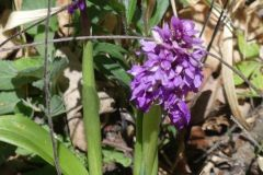 Orchis-mascula-R.Ohlhoff-Huy-06.05.2020x