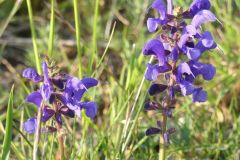 Salvia-pratensis-R.-Ohlhoff-Huy-06.05.2020x