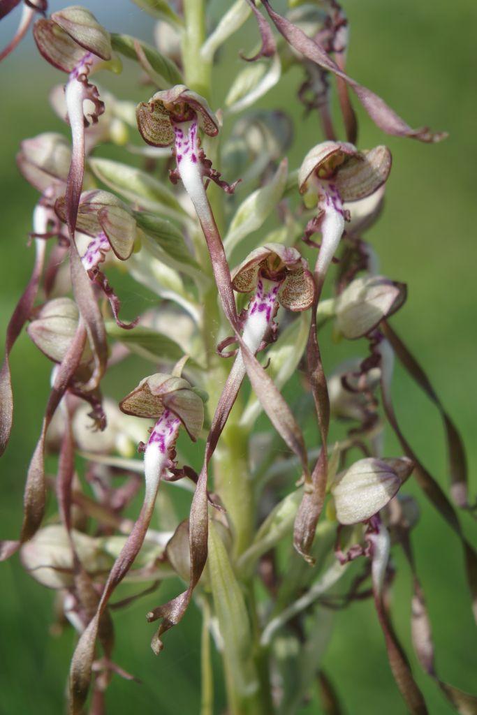 Himantoglossum-hircinum-BULAUMichael31.05.2019-5-x