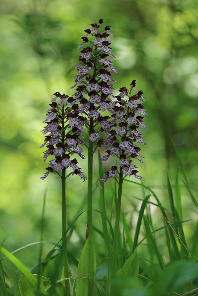 Orchis-purpurea-OHLHOFF-21.05.2017-x