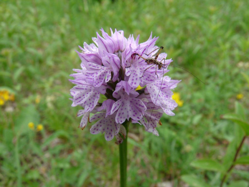 Orchis-tridentata-Tim-Meier-27.05.2015-x