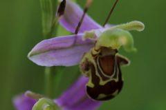 Ophrys-apifera-OHLHOFF-Quedlinburg-11.6.2017-x