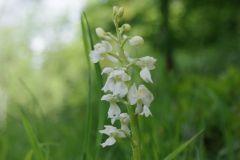 Orchis-mascula-var.alba-BULAUMichael-07.05.2019-x
