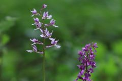 Orchis-mascula_WESTERMANN_Annette_22052010-x