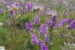 Orchis-morio_SCHROEDER-TROST_Ulrike-27.4.14-x