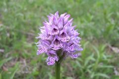 Orchis-tridentata-KOMMRAUS-Florian-Nissmitz-03.05.2009-x