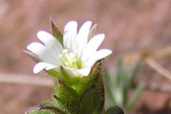 Cerastium-pumilum-BULAUMichael-Saaledurchbruch-Rothenburg-12.04.2015x