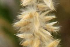 Melica-ciliata-Wimper-Perlgras-07-10-6-32-Uta-Anhalt-Thälmannschacht-Halde-x