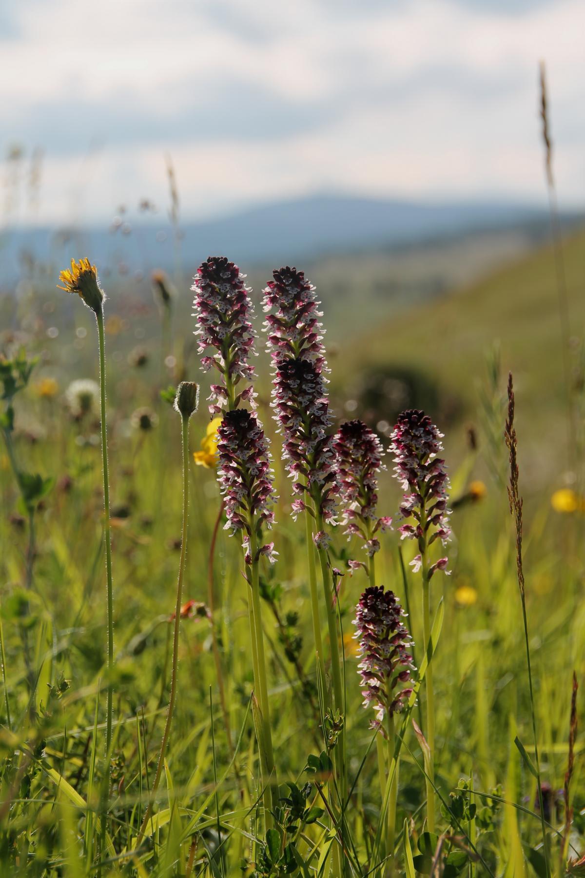 Orchis-ustulata-Meysel-Schwefeltal-Elbingerode-26.6.2016