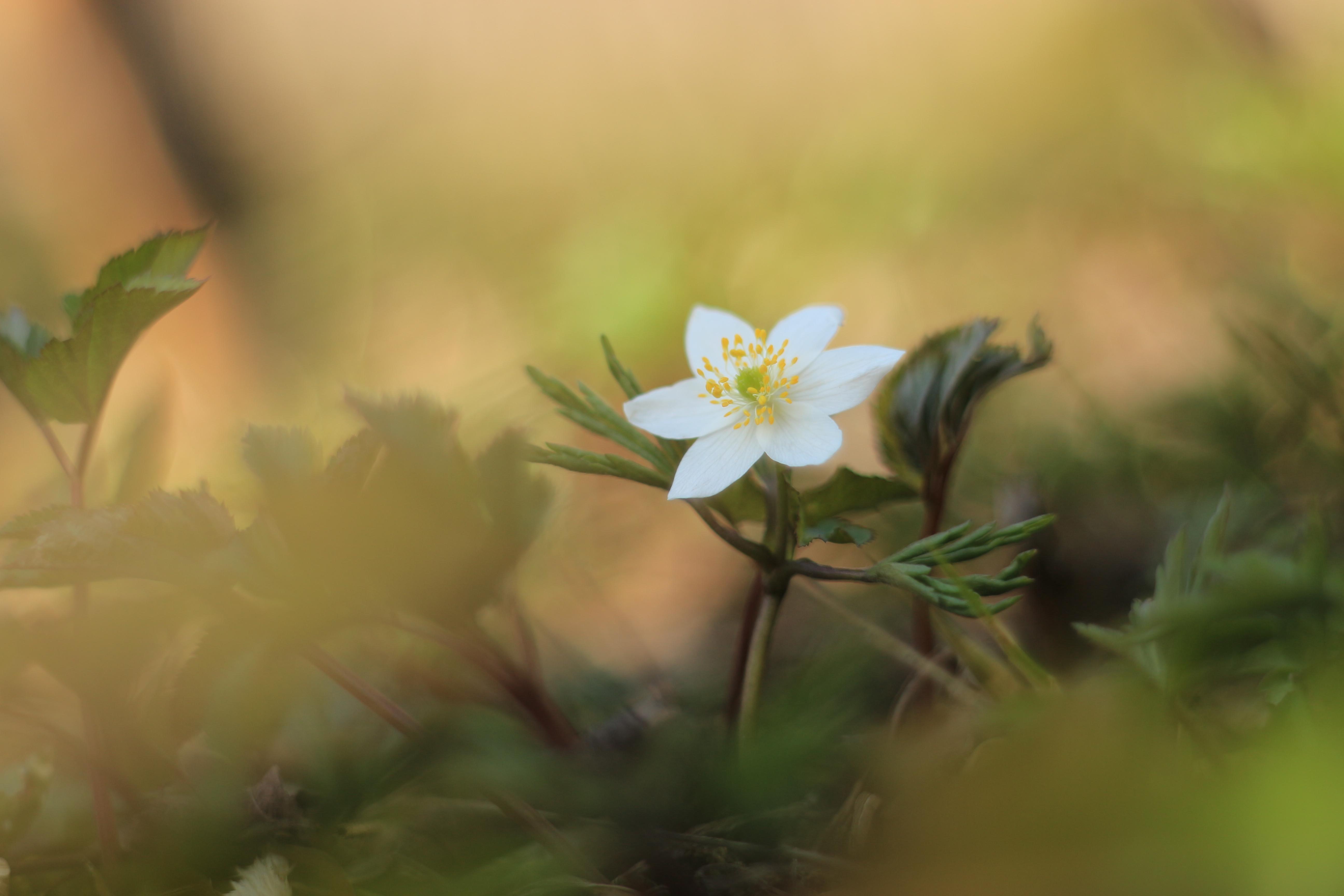 2. Platz: Anemone nemorosa, Foto: Judith Doberstein