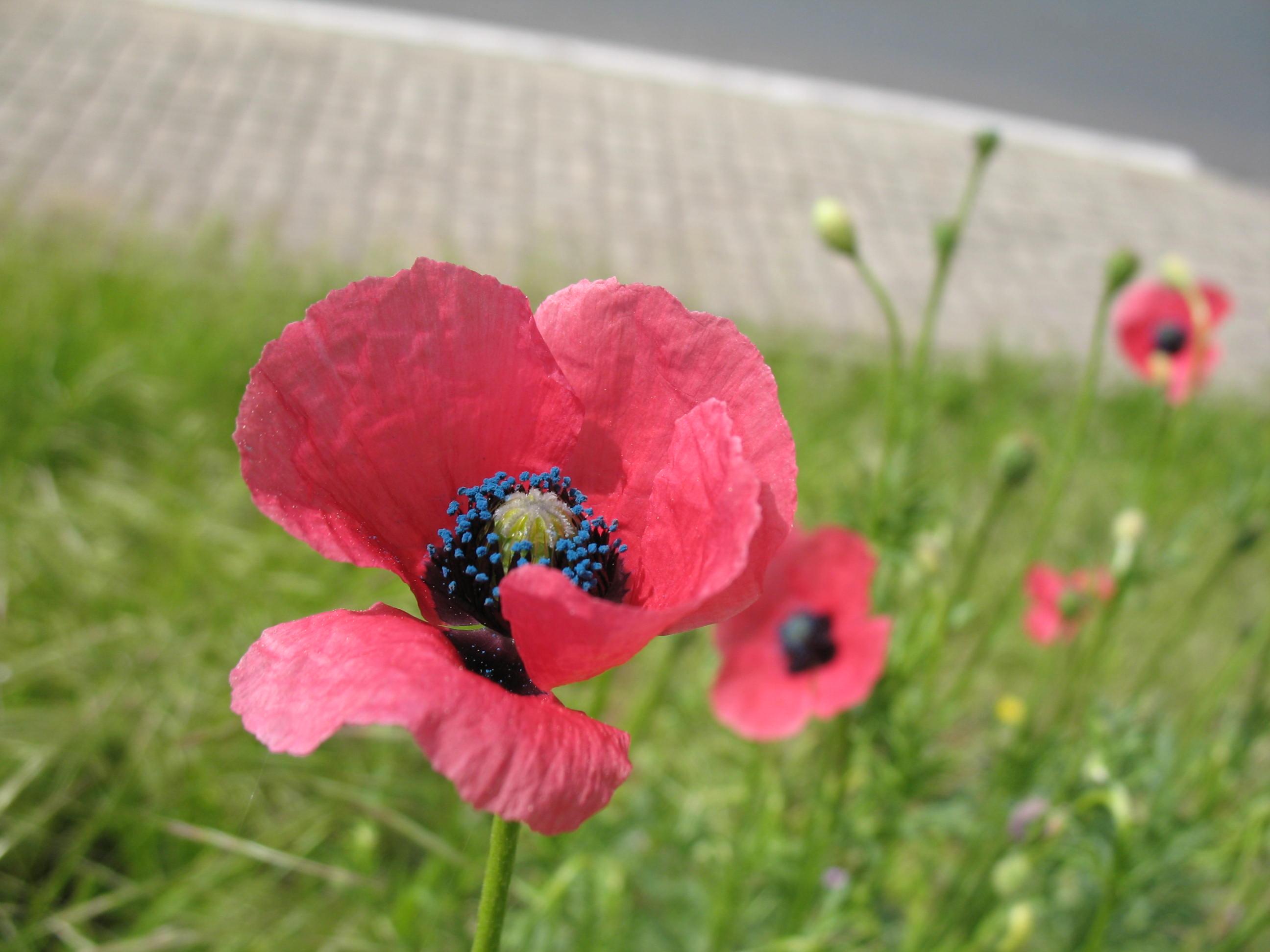 1. Platz: Papaver hybridum, Schwarzer Weg Zabenstedt, Foto: Heino John